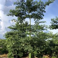 大腹木棉,美人树