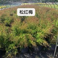 江苏常州供应大量松红梅 如图