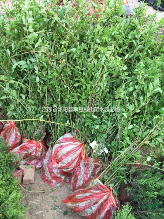供应连翘 黄老虎 绿化苗木灌木 连翘球 30-80公分连翘苗
