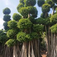 榕樹樁景,基地直銷