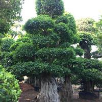 榕樹樁景,基地直銷,一手貨源