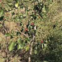 山西运城秋季处理一批山楂树地径8-15公分供应数量1万棵