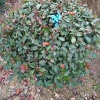 大小規格合肥紅葉石楠球基地