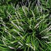 麦冬草草坪绿化园林花卉工程草坪河北