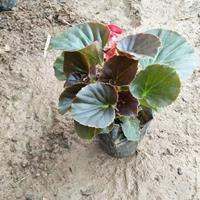 四季海棠生產基地-四季海棠價格