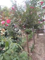 河南玫瑰紅,玫瑰紅報價,3公分16元,4公分25元