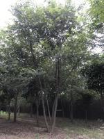 原生丛生朴树