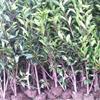 安徽肥西出售红花继木小苗,海桐,法青,栀子花,月季,麦冬草