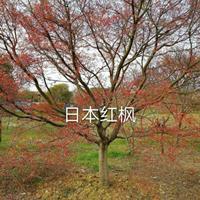 供应精品3-25公分日本红枫红舞姬出售
