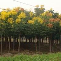 5-20公分優質欒樹報價南京精品欒樹銷售基地