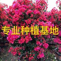 三角梅 勒杜鵑 九重葛 葉子花