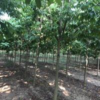 河南省綠尚園林有限公司安徽阜陽基地出售7到10公分七葉樹