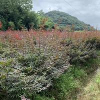 供當年生與2/3/4公分小苗紅楓紅梅垂絲海棠櫻花雞爪槭