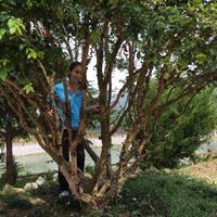樹葡萄(嘉寶果)3-10公分胸徑 地苗和袋苗批發 自產自銷