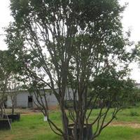 樹葡萄(嘉寶果)10-15公分胸徑 地苗和袋苗批發 自產自銷