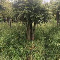 協燦苗木供3-30公分櫸樹羽毛楓紅梅紅梅楓叢生紫薇紅葉李櫻花