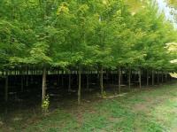 河南省綠尚園林有限公司出售美國紅楓35000顆