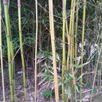 黃槽竹-黃槽竹批發價格、產地報價、產地貨源、基地直供