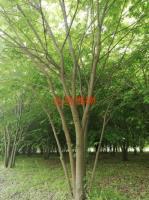 叢生櫸樹河南省綠尚園林有限公司出售