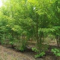 叢生美國紅楓3000墩河南省綠尚園林有限公司出售