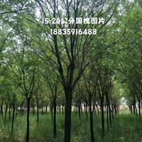 山西地區供應行道樹10-15公分國槐·20公分國槐價格