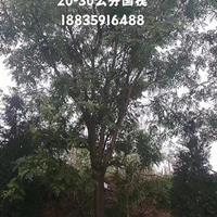 山西臨汾因修路緊急出售行道樹國槐2000棵;10-20公分