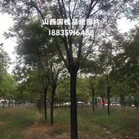 臨汾地區修路處理一批行道樹國槐;國槐規格10-18公分