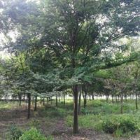 成都18公分低價櫸樹,成都櫸樹低價供應,成都紅櫸