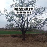 哪里有10公分柿树,柿子树多少钱一棵15公分粗柿树多少钱