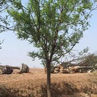 國槐米徑25公分價格·國槐米徑28公分報價·供應行道樹國槐