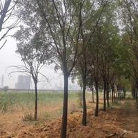 行道樹15公分國槐圖片·行道樹18公分國槐報價·緊急出售國槐