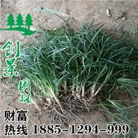 常年供应优质阔叶麦冬草,产地直销,价格低,质量好,货源充足。