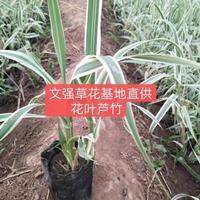 山东花叶芦苇介绍/金叶薯/夏堇特征/花叶芦苇用途