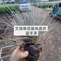 蓝羊茅市场批发价格/长春花,四季海棠,鸡冠花,金叶薯图片展示