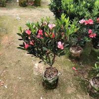2019年福建杜鵑山茶花,高度1米。冠幅50。價格220元。新報價