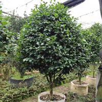 福建供应地径8.5公分正宗五宝茶花 高度2.2米。冠幅2米。价格8000元。规格齐全