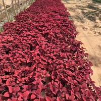 彩葉草。紅盆,高度30,冠幅30圖片/彩葉草。紅盆,高度30,冠幅30報價