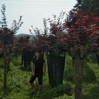 大小規格嫁接紅楓/紅楓價格/紅楓樹樁基地
