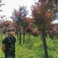 廣西桂林嫁接紅楓/高桿紅楓/大規格紅楓價格批發/供應