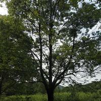 广西现在是实生树/现在嫁接树/多杆香樟/1.5米分枝香樟树哪里好/哪家便宜