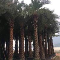 福建[产品]/福建银海枣杆高2米,高3米,价格500价格/报价