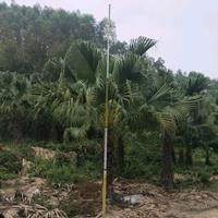 福建[產品]/福建蒲葵桿高2米,高4米,價格350價格/報價