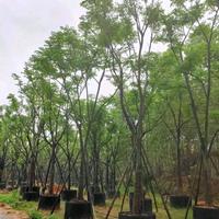 優質特價黃山欒樹15公分,高6米,價格3500產地直銷