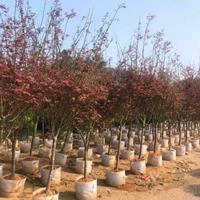 优质特价红枫2.5米,冠幅1.5米,价格220产地直销