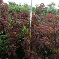 红叶乌桕高2米,冠幅1.5米,价格160图片/红叶乌桕高2米,冠幅1.5米,价格160报价