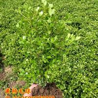 优质小叶黄杨价格 瓜子黄杨优质苗 黄杨球 江苏黄杨苗木产地