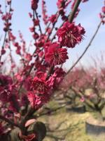 娜塔櫟。櫸樹  香樟  無患子  烏柏高桿紅梅