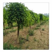 龙爪槐产地价格报价,山西龙爪槐种植基地
