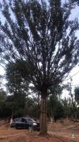 精品香樟。朴树。榉树 无患子高杆红梅  桂花 娜塔栎 乌桕