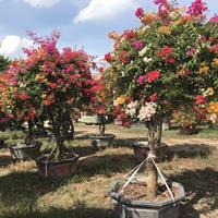 20-450公分優質三角梅種植基地批發報價格